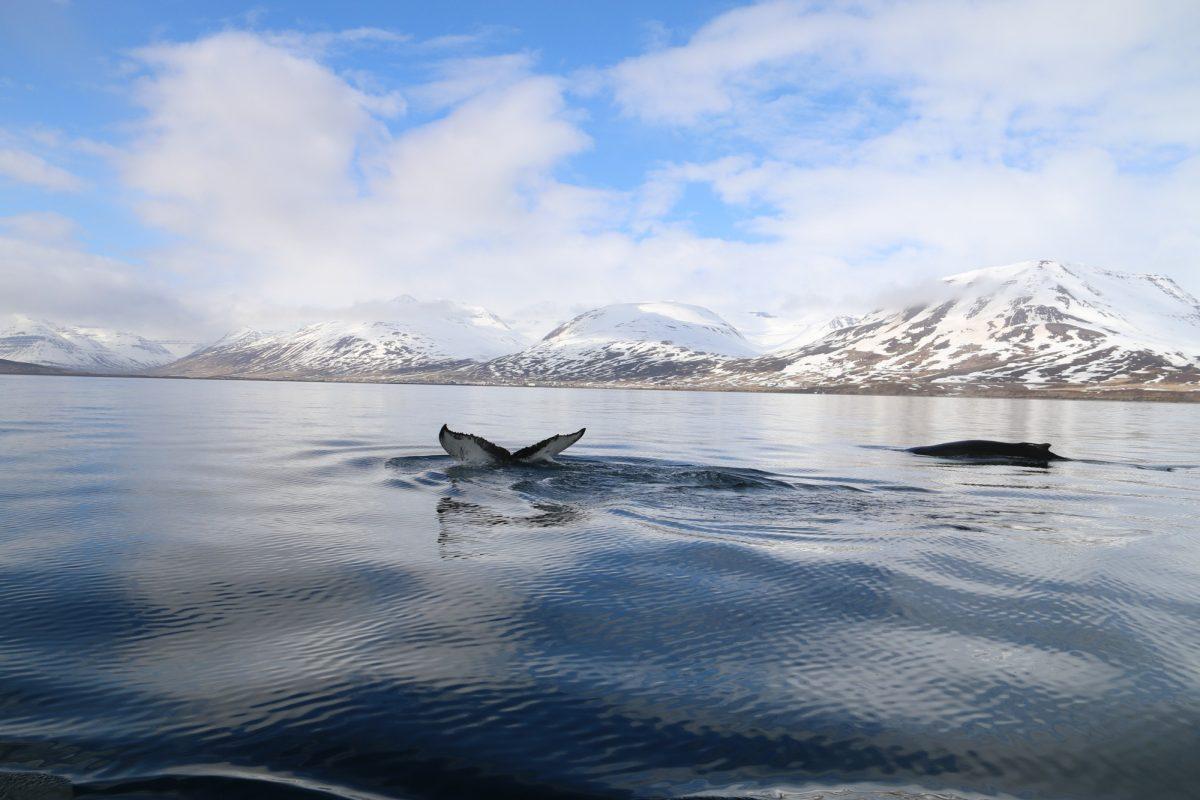 Whale-Watching-Dalvik-North-Iceland