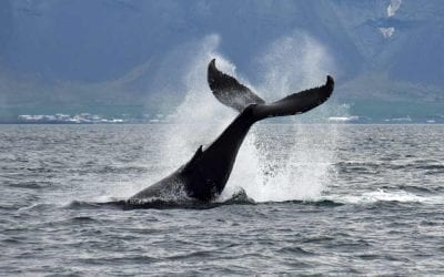 Whale watching tour Reykjavik in Iceland
