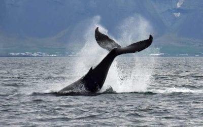 Whale-watching-tour-Reykjavik-Iceland