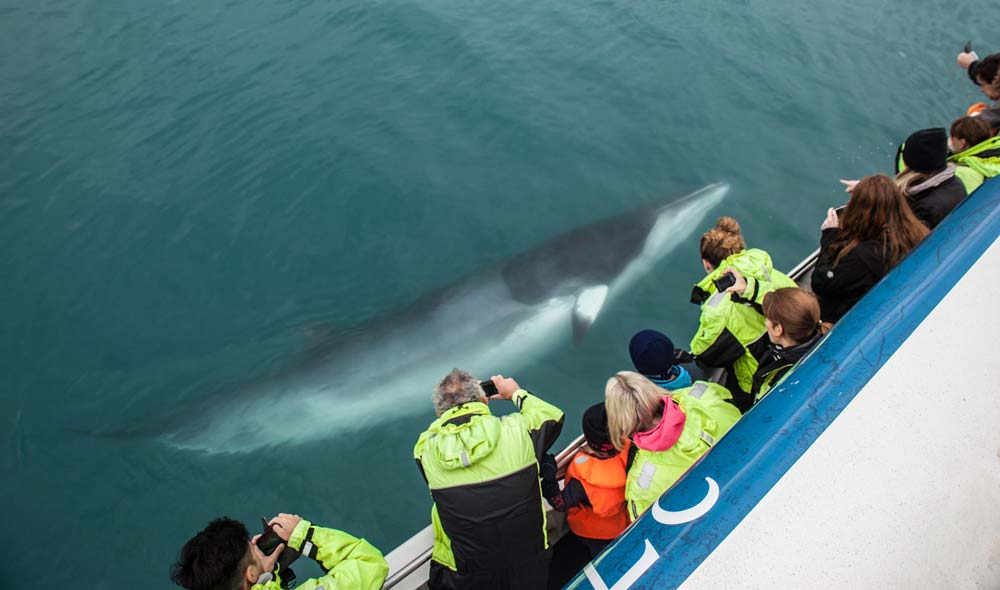 Whale watching tour in Reykjavik