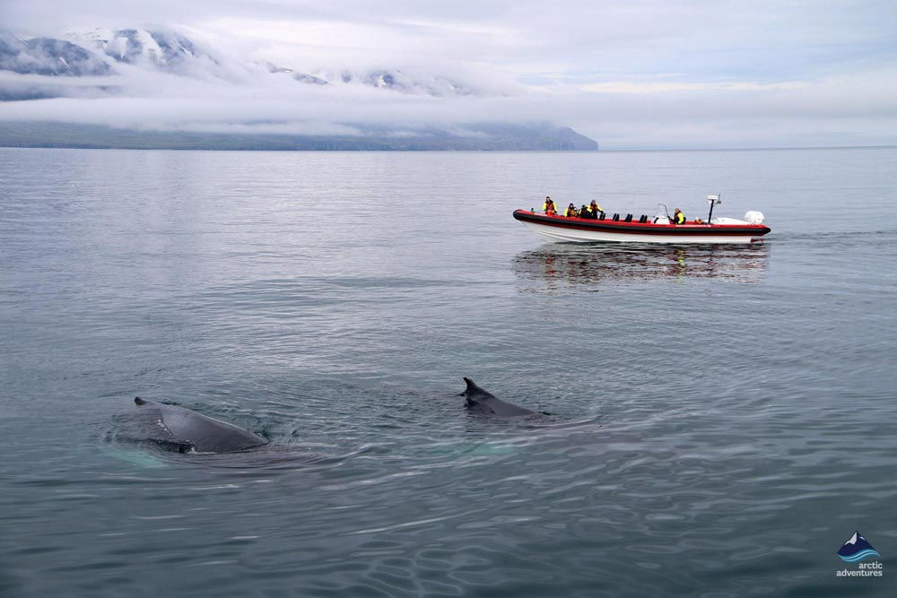 Whale Watching Tour North Iceland