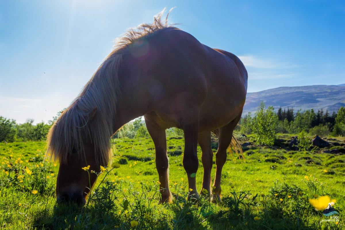 Icelandic horses in the wilderness - Iceland