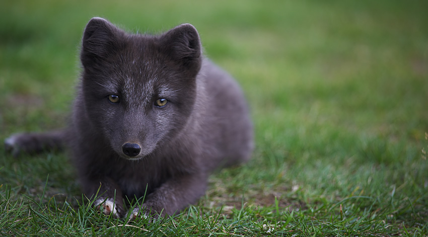 Arctic Fox in Westjords Iceland
