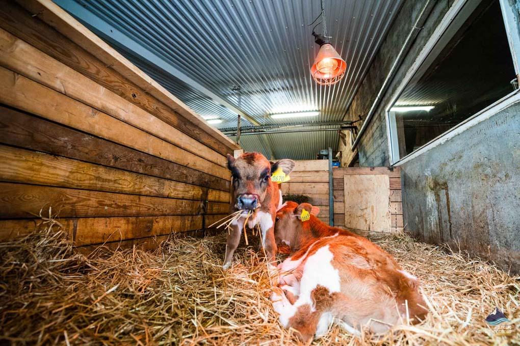Calfs at Efstidalur Farm in Iceland