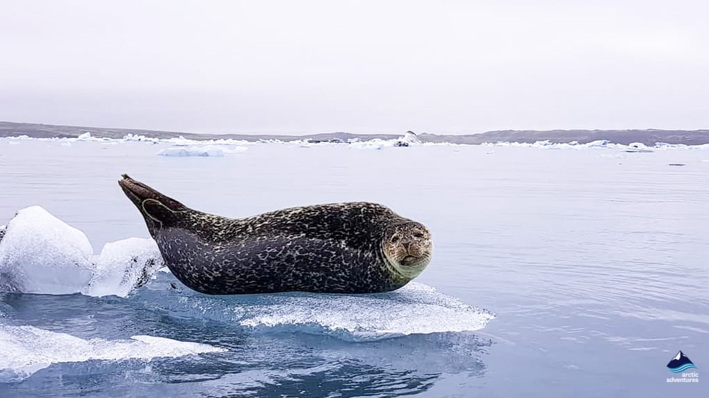 Seal at Jokulsarlon Glacier Lagon