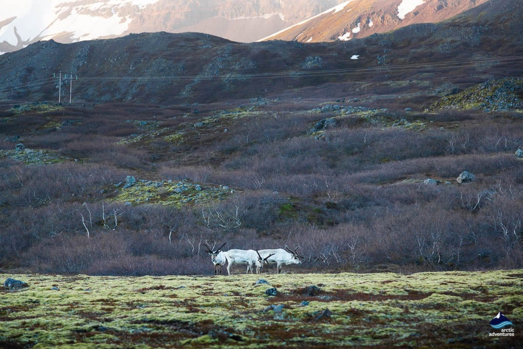 Reindeer seen from the Ring Road