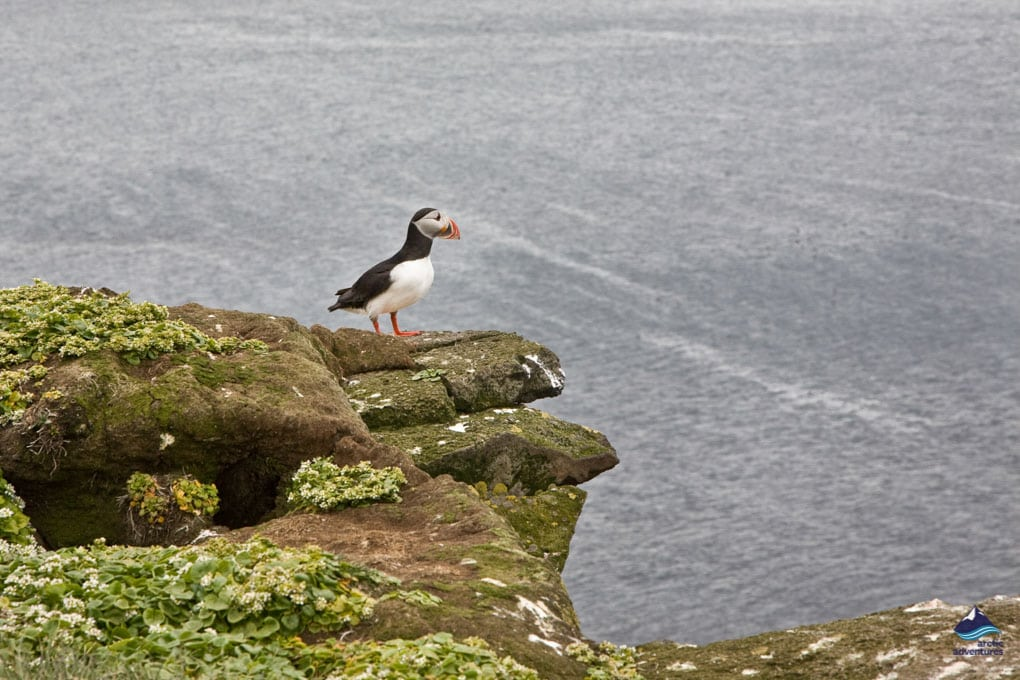 Puffin on a Rock in Iceland