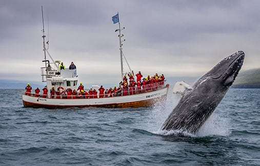 Whale Watching North Iceland
