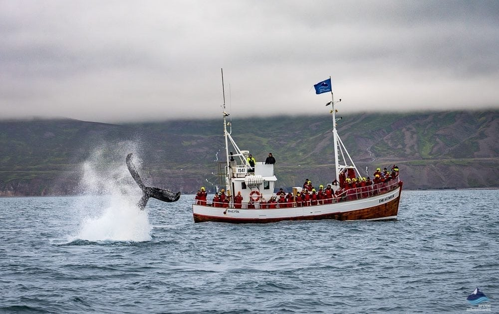 Whale Watching Tour In Dalvik Arctic Adventures