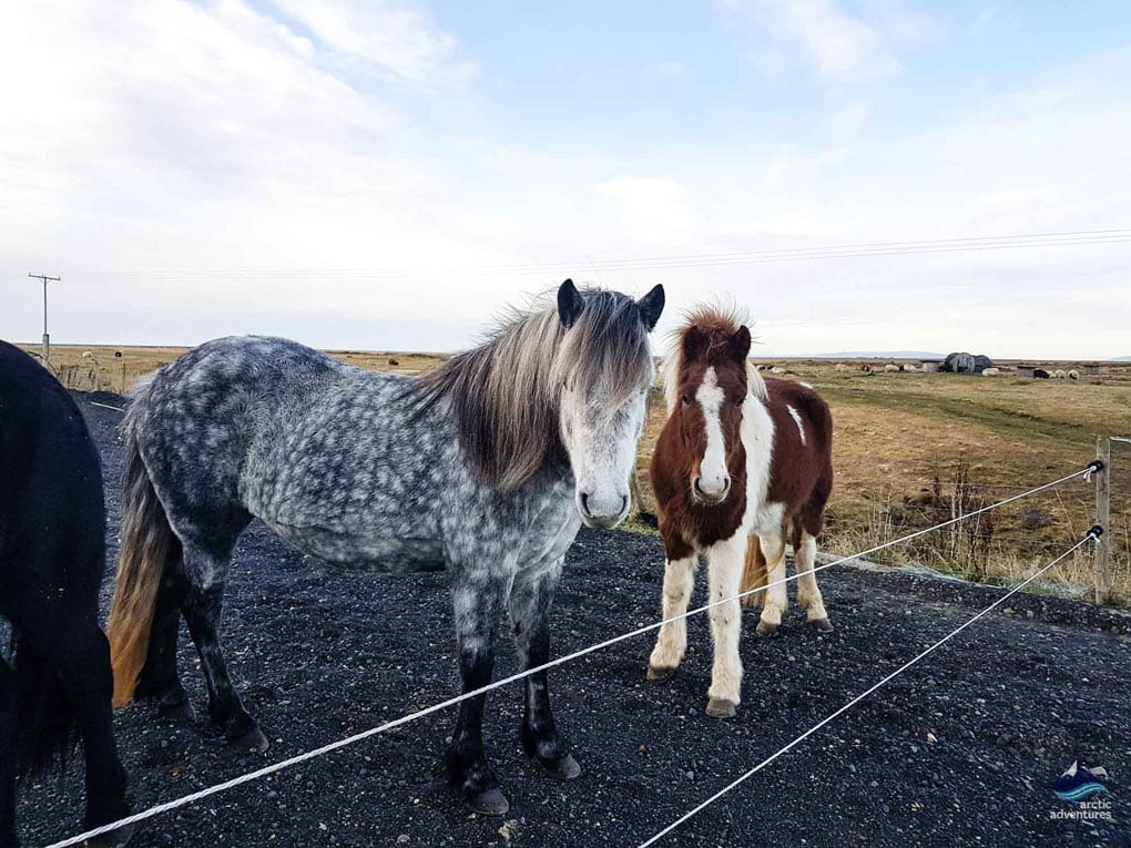 Friendly Icelandic Horses in Winter Fur
