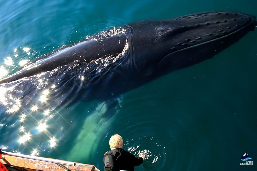 Whale Watching Tours In Iceland Arctic Adventures