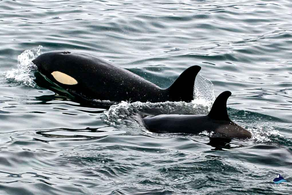 Orcas / Killer Whales in Iceland