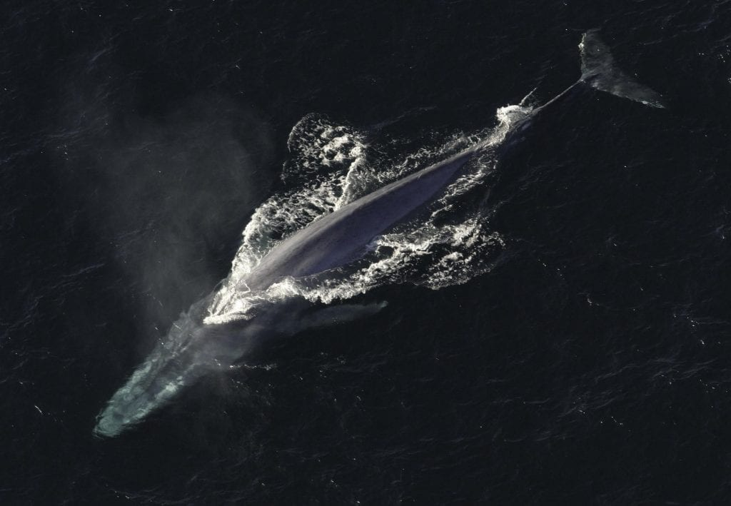 Blue Whale - Whale Watching Iceland