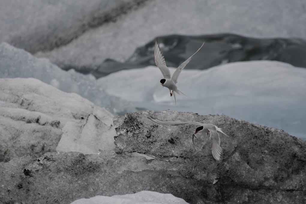Arctic Tern Jokulsarlon