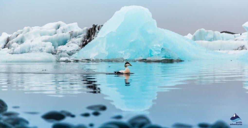 Beautiful ice bergs on Jokulsarlon glacier lagoon
