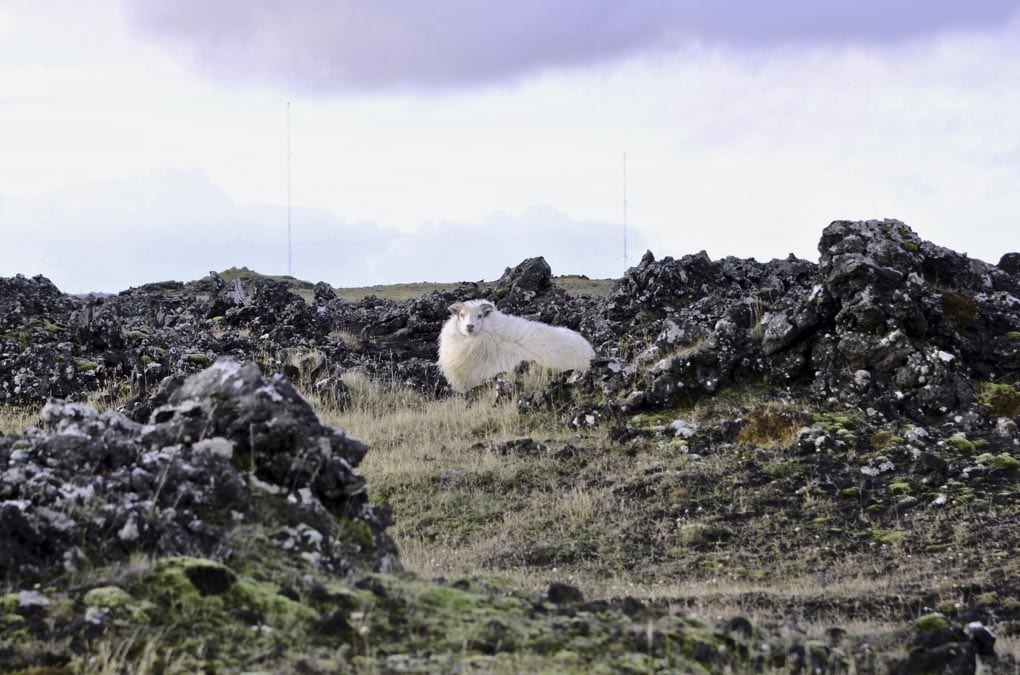 Sheep near Grindavik