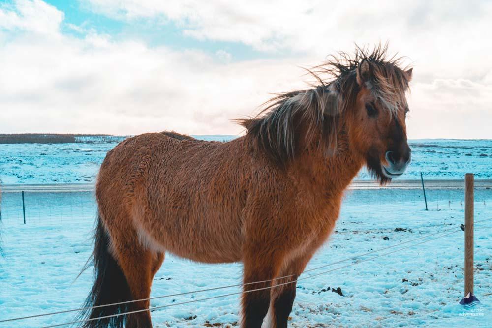 icelandic-horses-winter