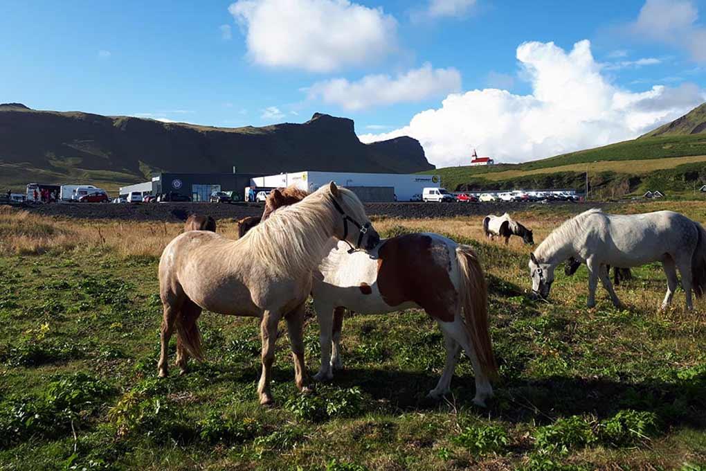 vikurfjara horses