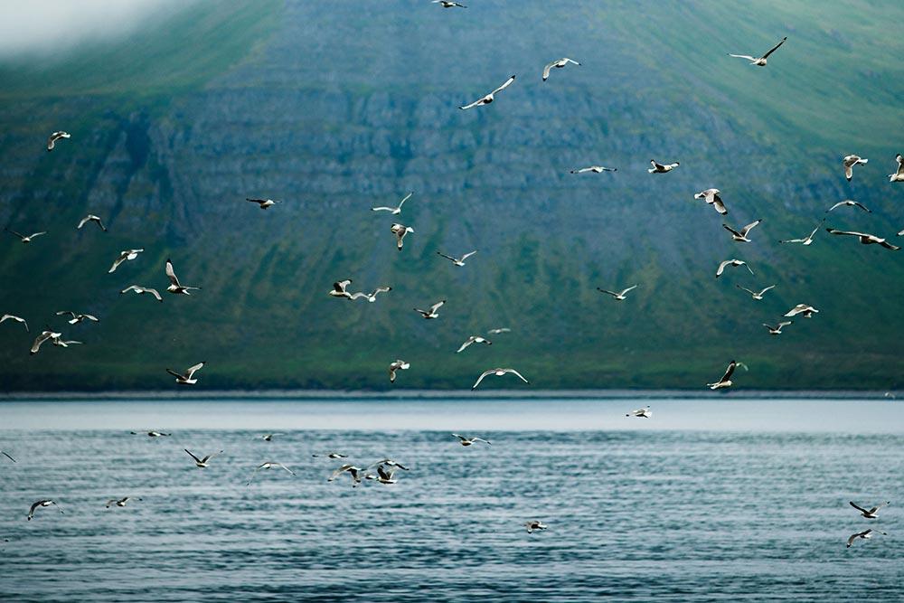 isafjordur-animals