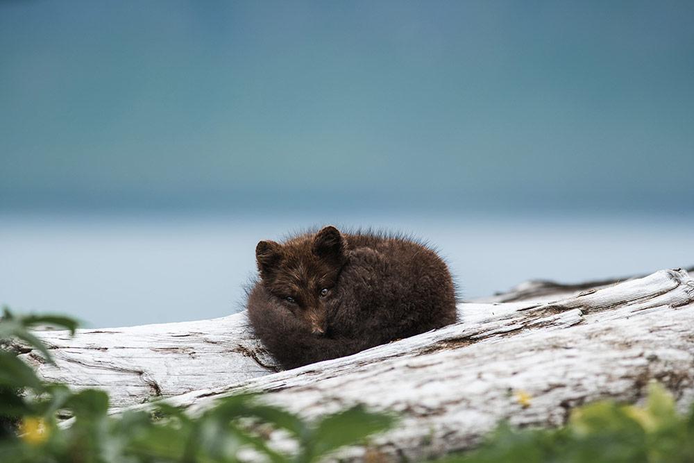 hornstrandir-arctic-fox