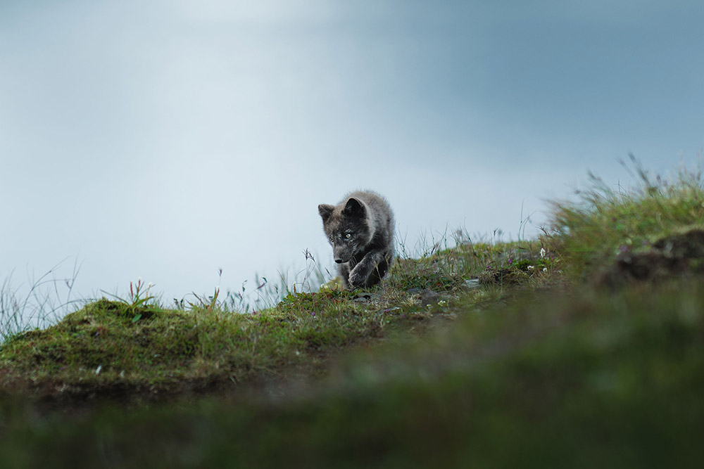 arctic-fox-pup