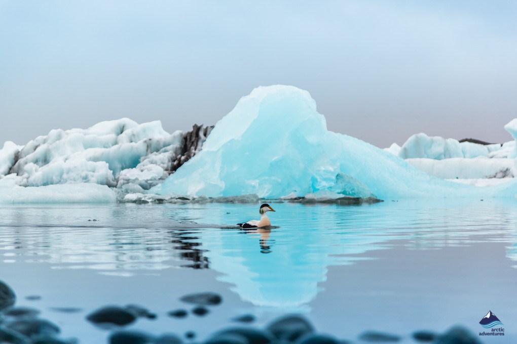 冰岛南岸的杰古沙龙冰湖漂浮着的湛蓝冰川
