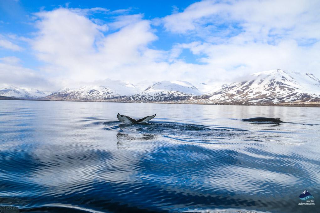 鲸鱼尾巴探出水面
