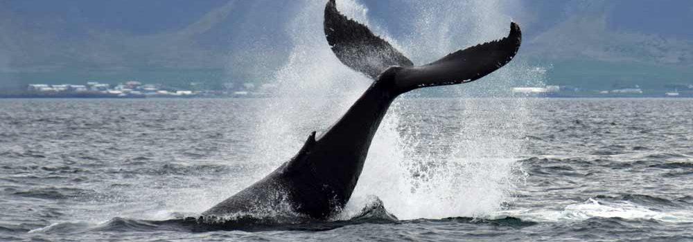 鲸鱼尾巴露出水面