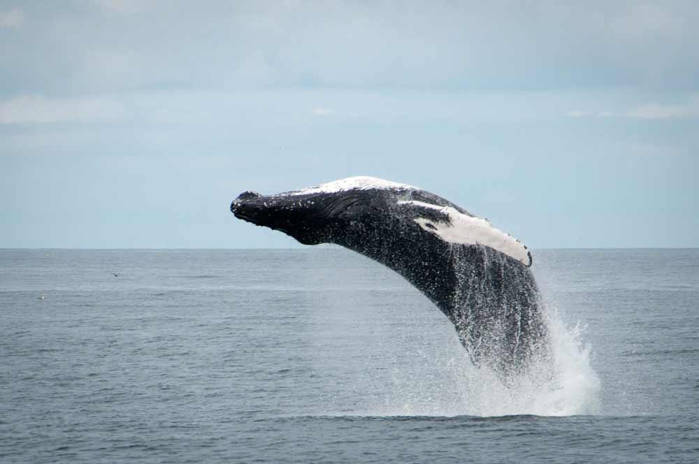 鲸鱼从水面一跃而起