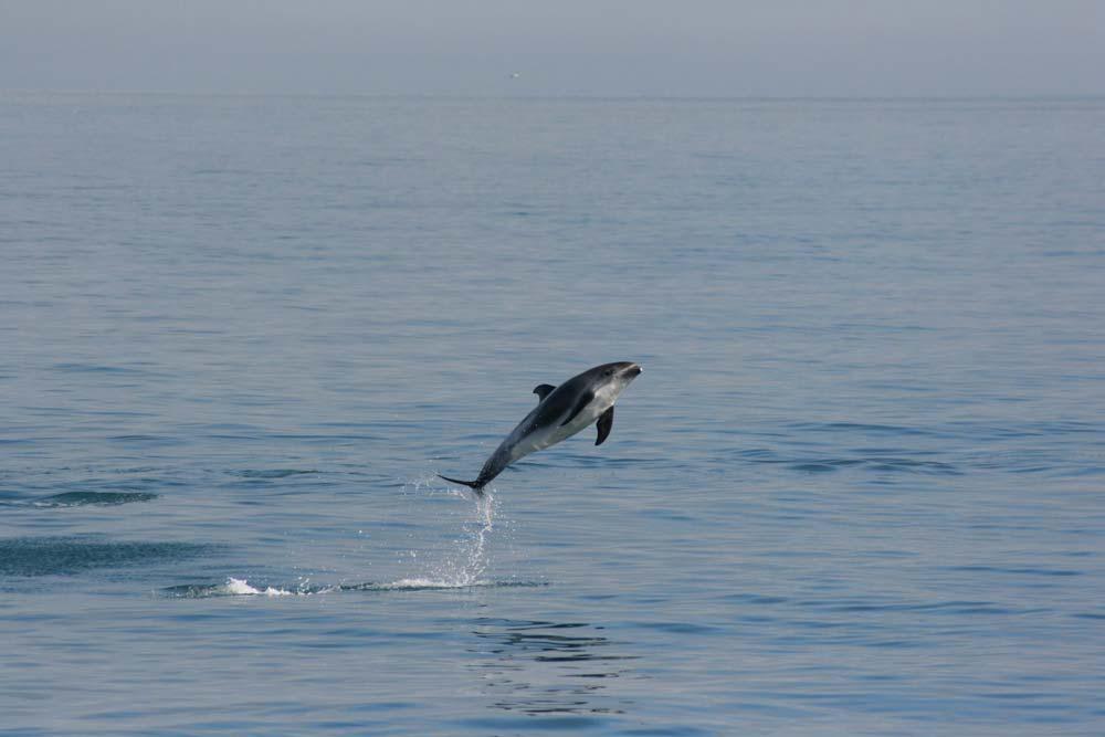 嬉戏的小海豚