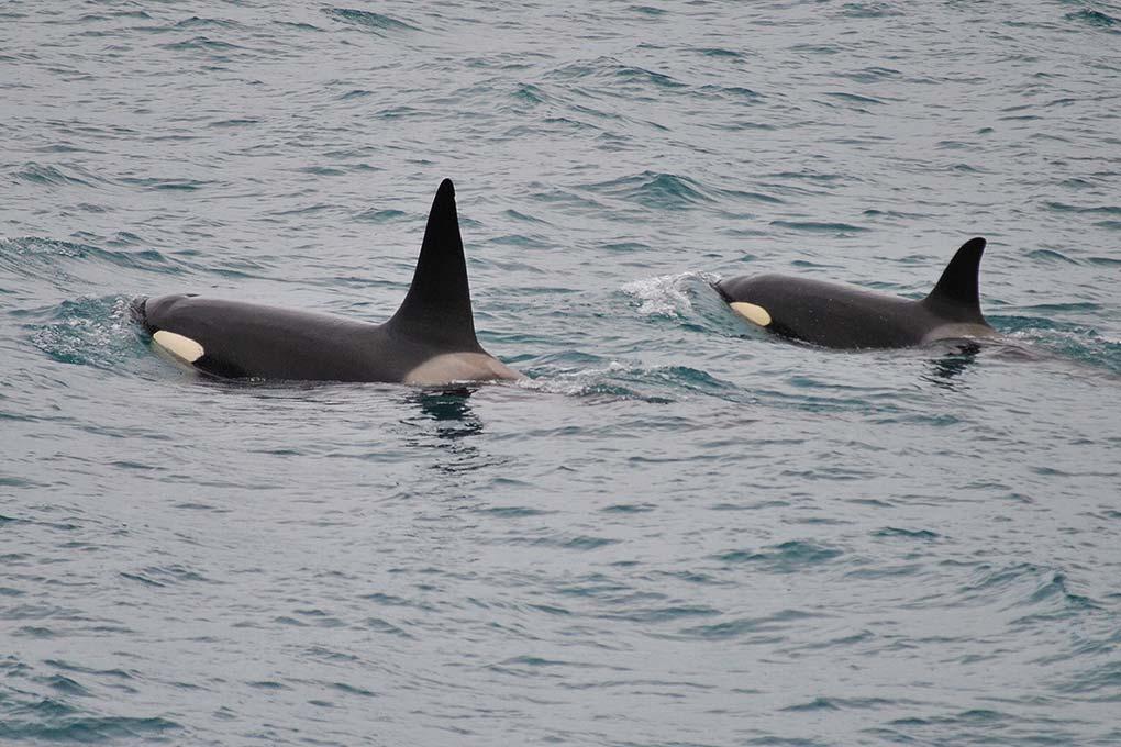 icelandic-whales