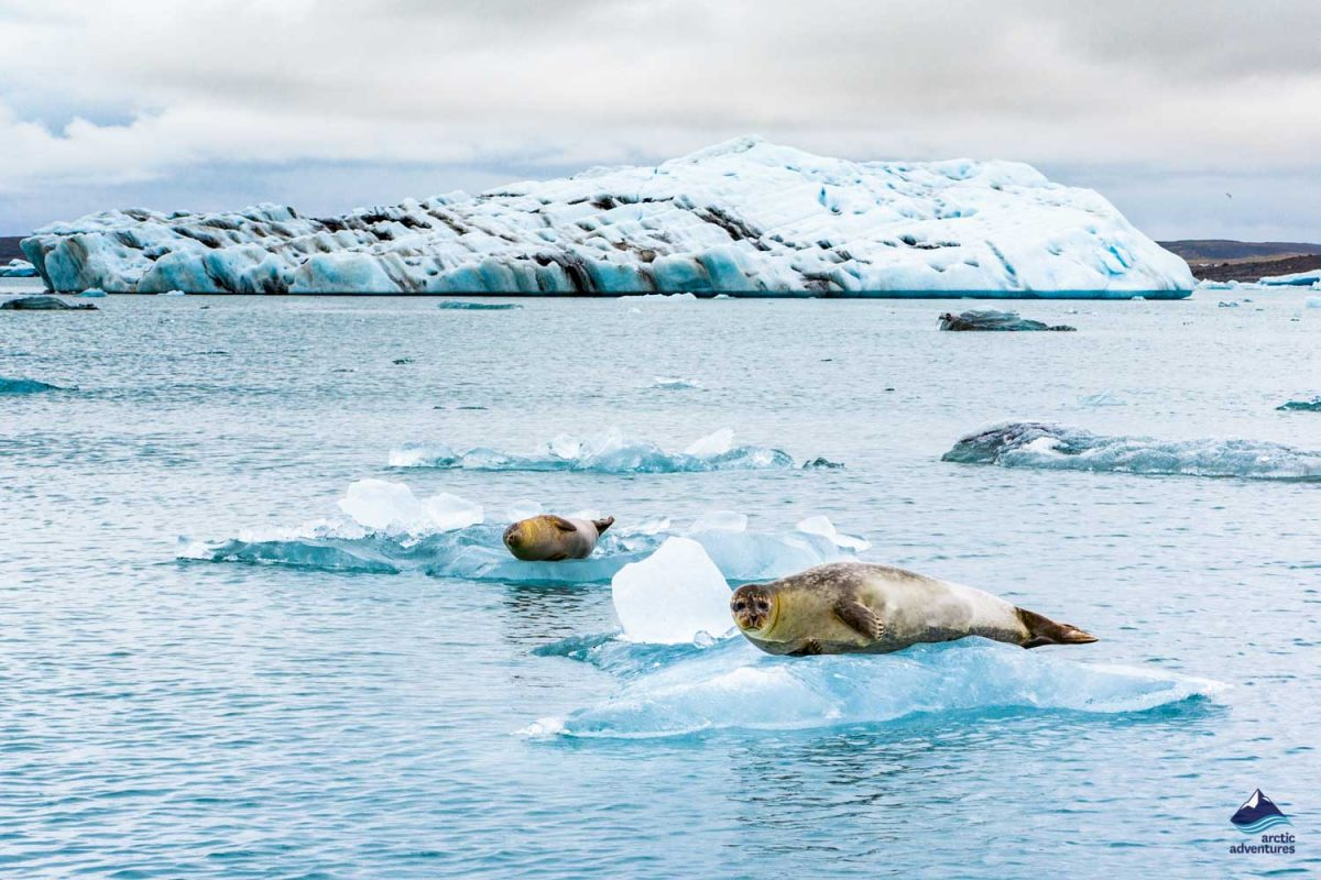 Seal relaxing on a floating iceberg