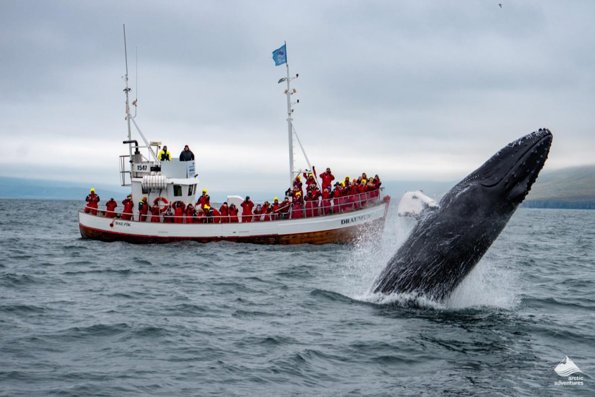 Whale watching from a boat in Dalvik