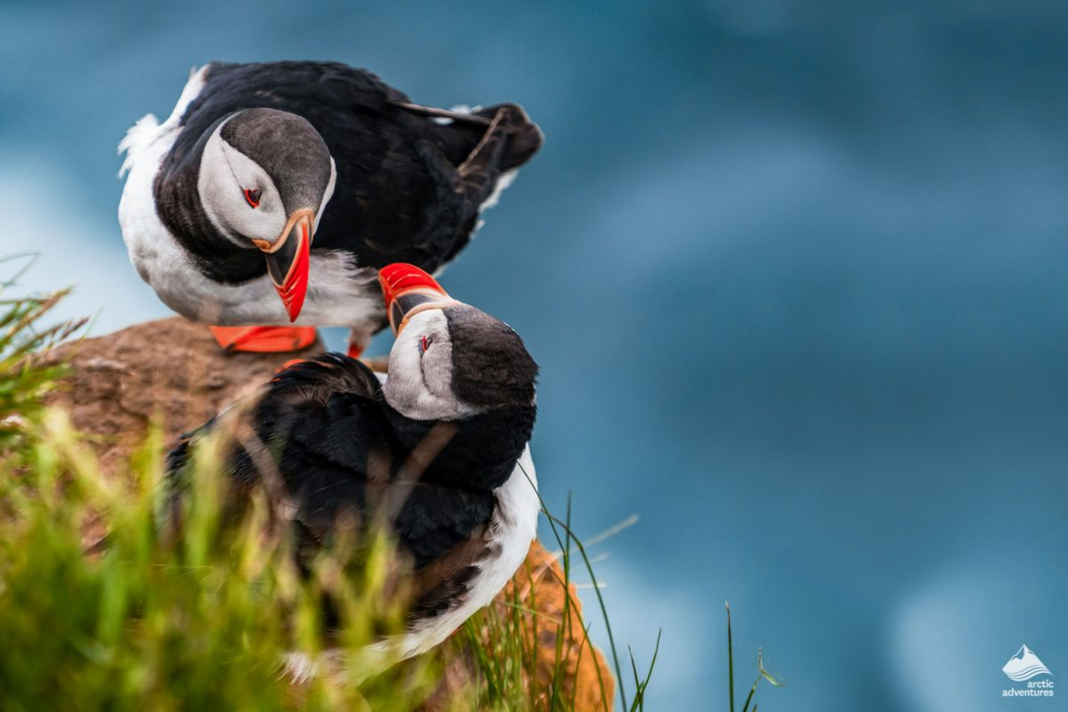 Couple of puffins on the cliff in Iceland