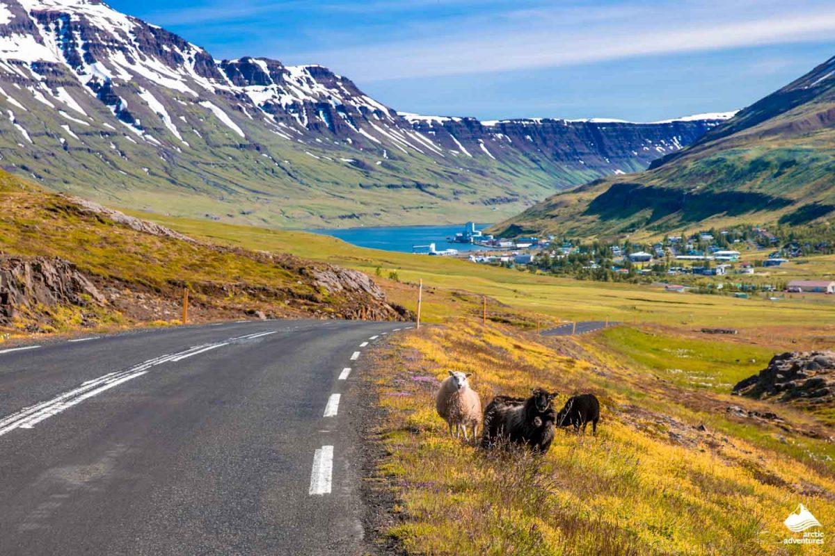 Sheep at Mountain road Seyðisfjarðarvegur