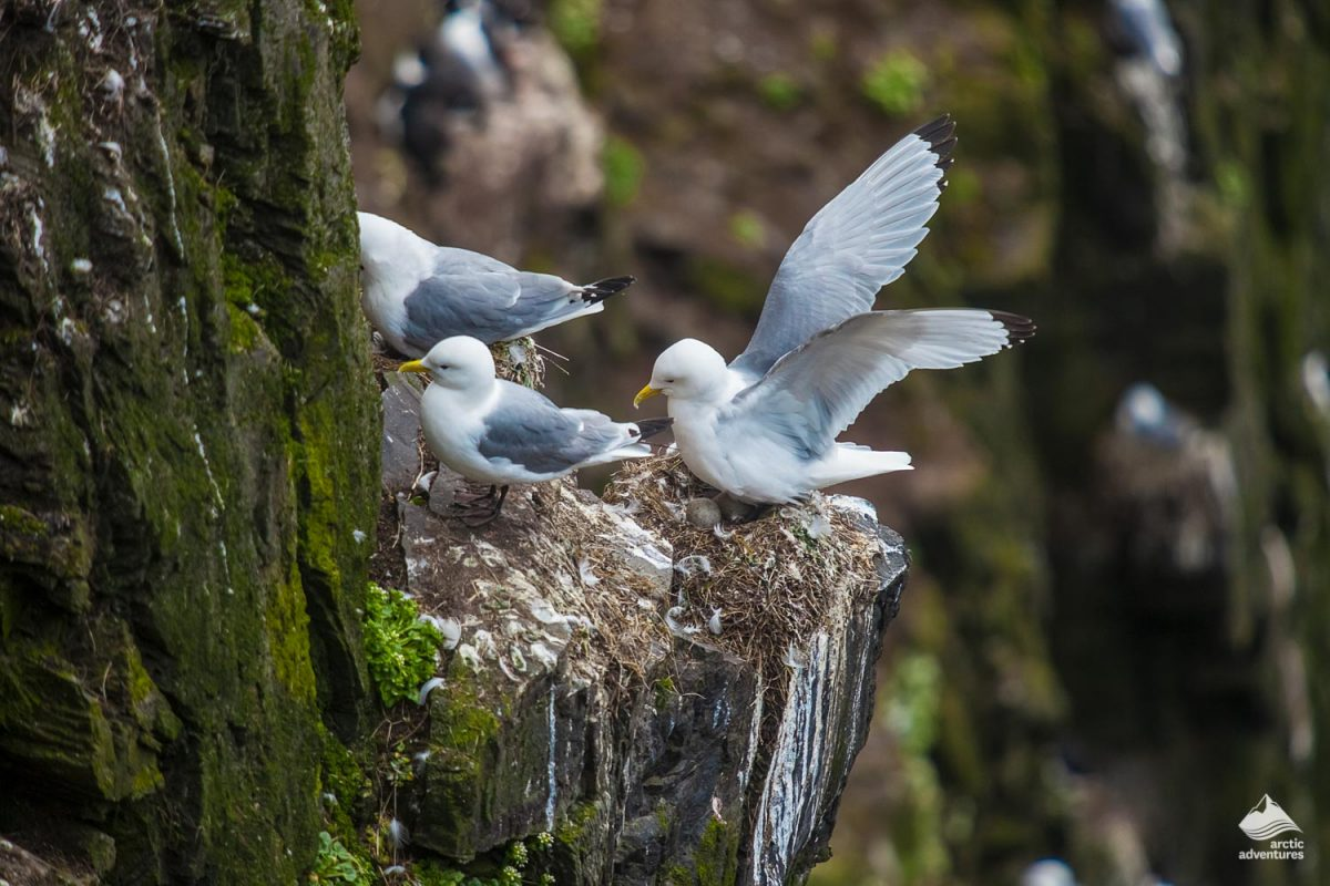 Kittiwake birds on the cliff in Iceland