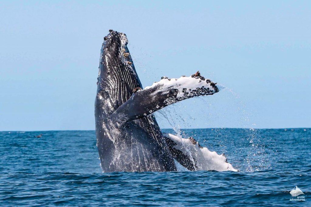 Humpback Whale Jumping In Iceland Sea