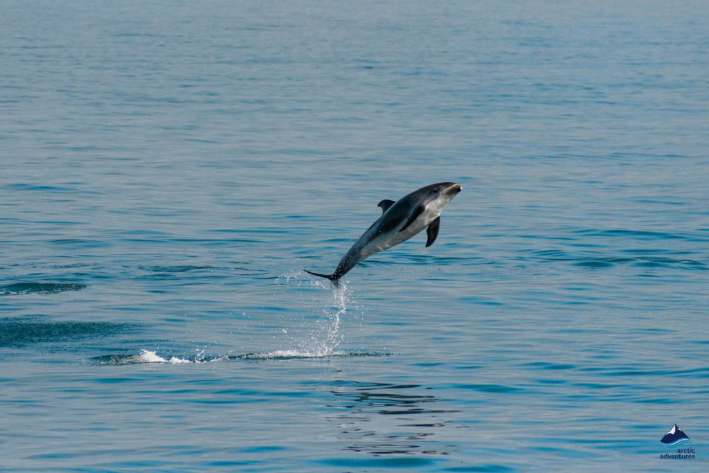 Dolphin Jumping Up In The Sea
