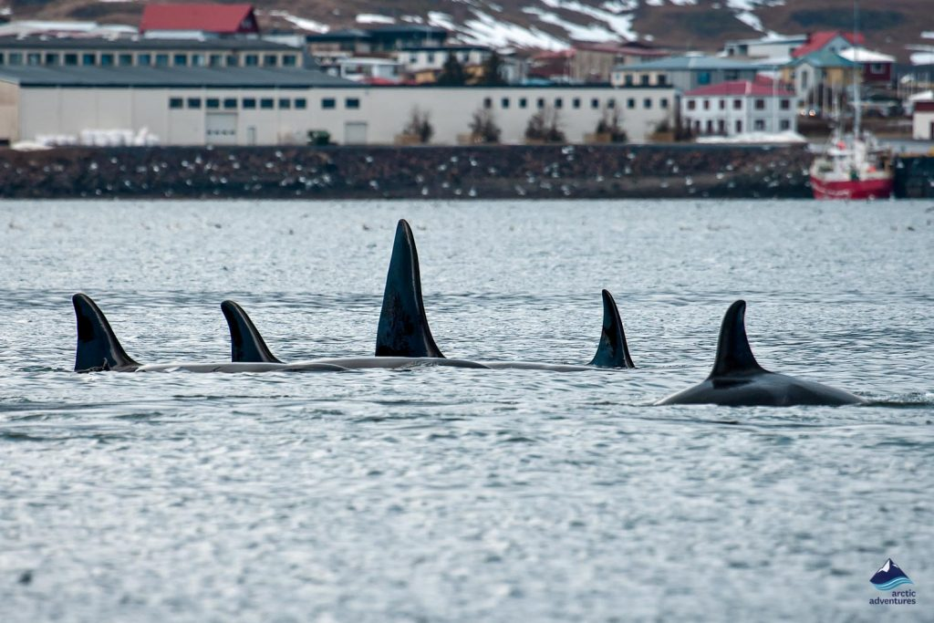 Whales Near Dalvik Harbor