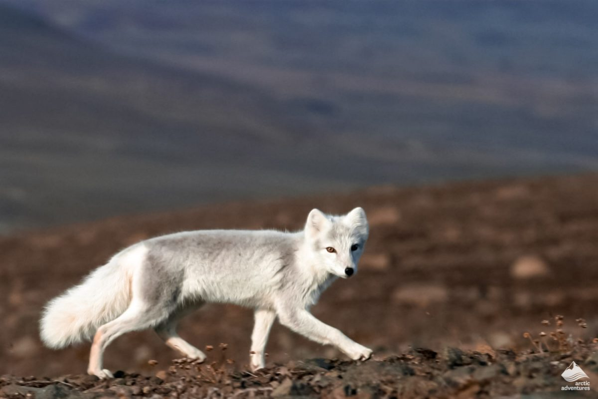 Arctic fox in eastern Iceland