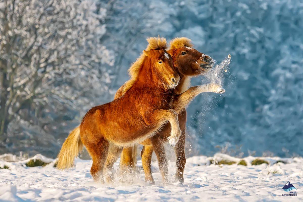 Icelandic horses playing