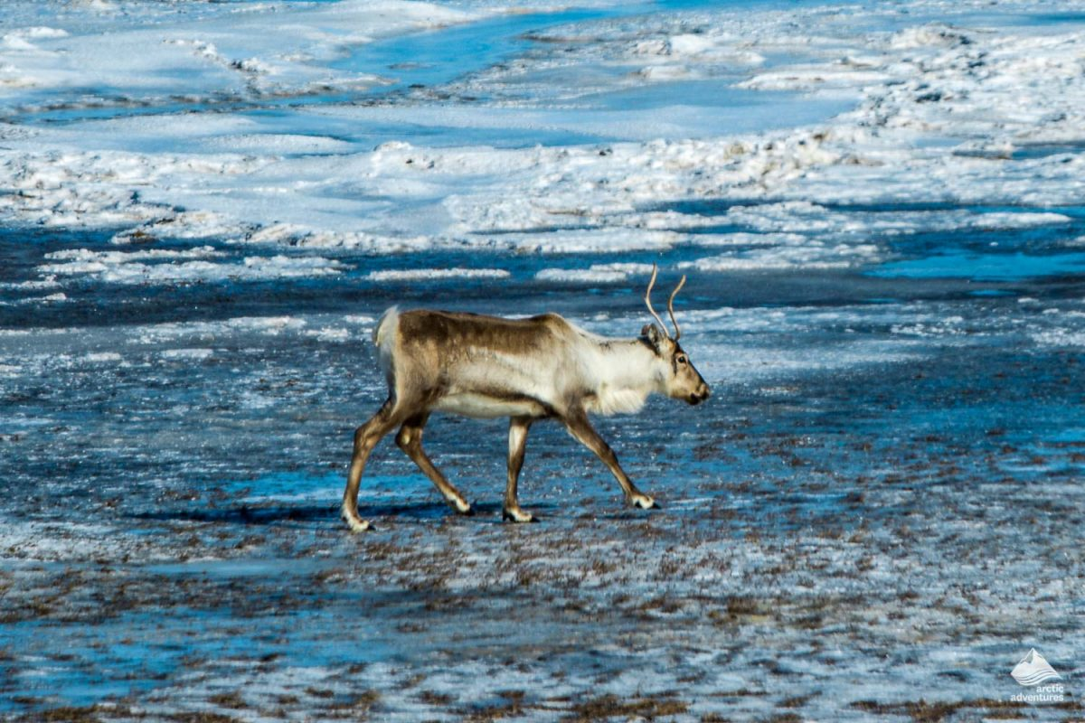 Reindeer near the lake