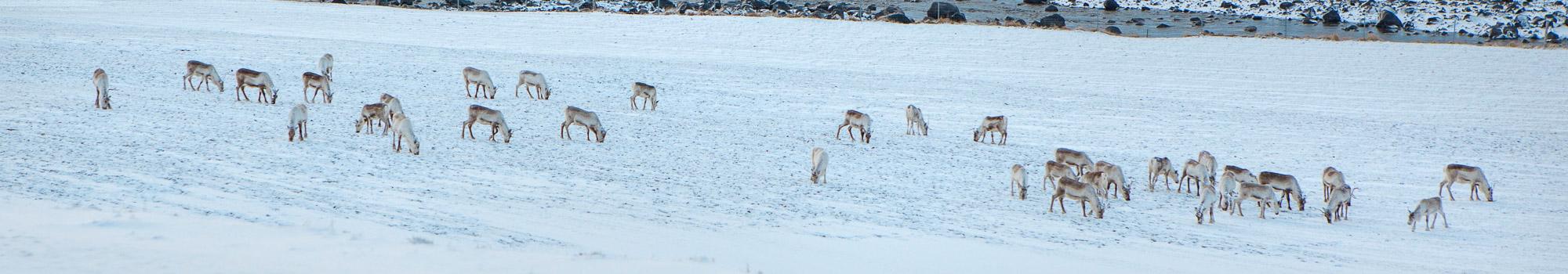 Group of Reindeer in winter