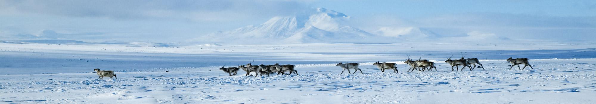 Reindeers running across fields in winter in Iceland