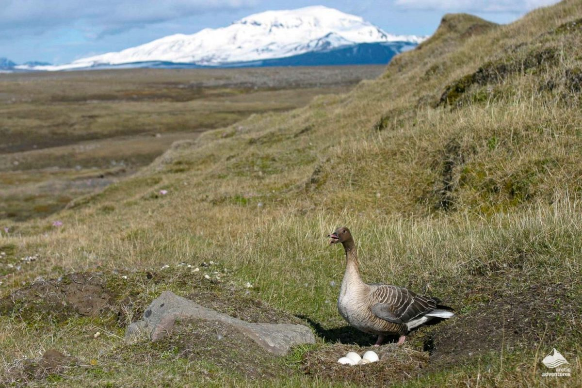 Pink-Footed Goose eggs