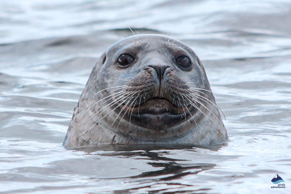 Seals muzzle