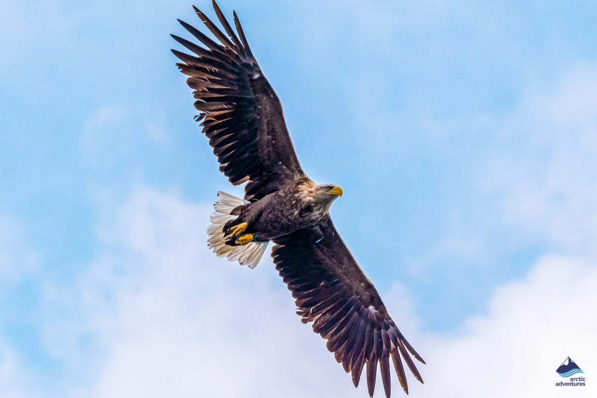 White-tailed eagle flying in the sky
